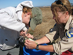 two scientist attaching a radio collar to a mouse in a dry grassy area with blue sky