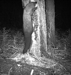 A fisher climbs a tree trunk at night