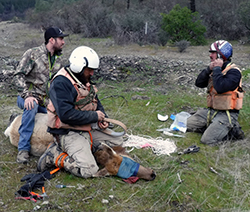 Three men fit a research collar on a tule elk