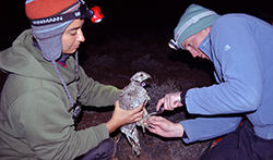 Two women hold and measure a wild sage grouse (bird)