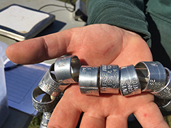 Silvery metallic butt-end bands in the hand of CDFW environmental scientist Laura Cockrell.