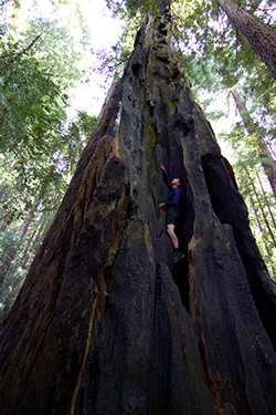 A man nearly disappears as he climbs in the hollow of an enormous coast redwoods tree