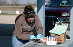 At an outdoor work-table with test tubes on it, a woman wearing blue latex gloves pokes a dead bird with a cotton swab