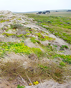 patches of green vegetation live on a coastal ridge full of dead, beige beach-grass