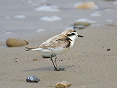 a tiny shorebird with a light brown coat, black beak, and white underside, standing on wet beach sand