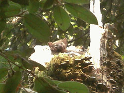 Marten resting atop a broken tree truck covered in moss and lichens