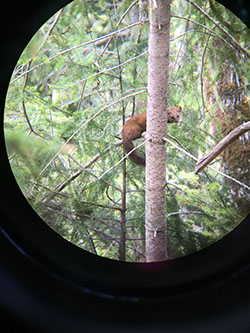 Marten in tree viewed through spotting scope