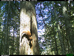 Marten climbing down tree trunk with rodent in mouth