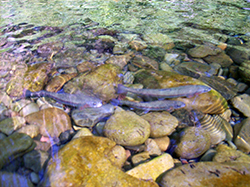 three redband trout swim close to riverbottom rocks