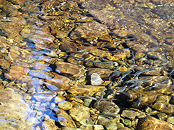15 redband trout swim together, close to tan and gold-colored riverbed rocks