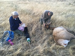 AAs an 11-year wildlife biologist for CDFW's Central Region, Nathan was involved in several captures, collars and relocations of California's native tule elk.