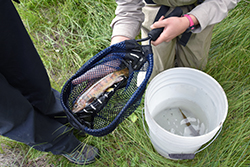 A trout lies in an elongated net with measuring marks, held next to a white bucket with water and other live fish in it.