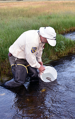 A man wearing hip waders and a California Fish and Wildlife uniform stands knee-deep in a stream that runs through a green meadow, where he lowers a white bucket into the water to release two small fish.