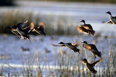 CDFW Completes 2017 Waterfowl Breeding Population Survey