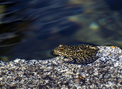 A black-speckled, brown frog rests on a flat granite rock next to a deep blue lake