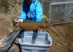 Man holding a large cutthroat trout. Very large green fish with a colorful rainbow stripe running along the flank