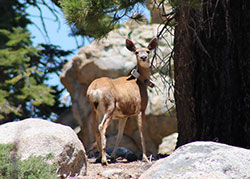 deer standing on rocks with trees with a tracking collar