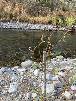 Sacramento River with willow and cottonwood cuttings placed for a cooling canopy for salmon with rocky banks and dense shrub