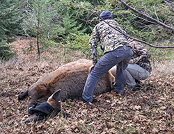 Two CDFW staffers begin preparing a sedated cow elk for collaring and tagging in a forest