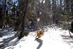 A bright orange, bushy-tailed fox runs in snow toward dense forest