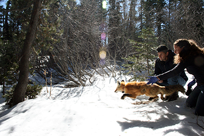 On the Trail of the Mysterious Sierra Nevada Red Fox