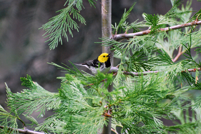 Study of Songbirds' Calls Provides Important Climate Insight