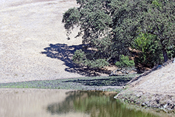 a small stand of oak trees is reflected in the green water of a pond, surrounded by dead, yellow grassy hillsides
