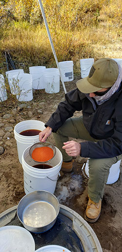 scientist sitting with several buckets ready to fill with fertilized salmon eggs collected from the river
