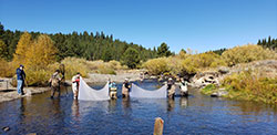 Several scientist standing in shallow part of the river with weir nets to block salmon to collect eggs to raise at the hatchery