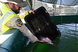 a man in a CDFW uniform places a live salmon into a holding tank