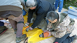 On tarps, two men hold a deer wearing a calming mask as another checks the deer's health.