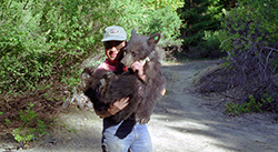 A man wearing a DFG cap holds in his arms a large bear cub wearing a tracking collar.