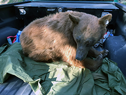 A light brown bear with a black muzzle sits on a green tarp in the bed of a navy blue pickup truck.