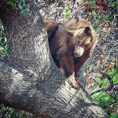 A cinnamon-colored bear with light brown paws and muzzle stands in the crotch of a large tree, looking down toward the ground