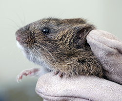 a tiny brown rodent in a gloved hand
