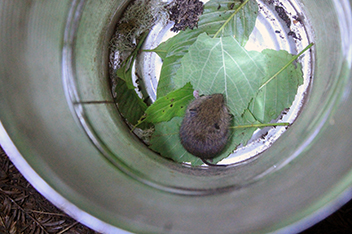 A tiny brown vole sits on green leaves in a metal bucket