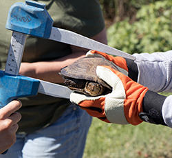 Gloved hands hold a pond turtle as someone neasures its height