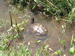 A pond turtle in a marsh pond