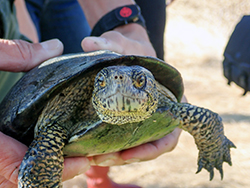 Hands hold a six-inch pond turtle with long claws