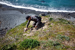 Man in Department of Fish and Wildlife uniform on coastal cliff with succulent plant in hand