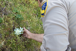 Man in Department of Fish and Wildlife uniform on vegetation covered cliffside with hand on succulent plant
