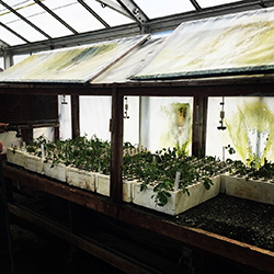 a row of 11 trays full of green plant seedlings in a nursery setting