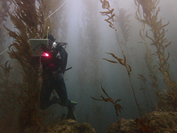 Diver underwater in black diving suit holding underwater writing tablet underwater in kelp forest