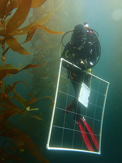 Diver underwater in black diving suit holding a large grid made from PVC pipes and wire in kelp forest