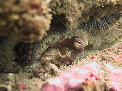Curled up octopus hiding underwater