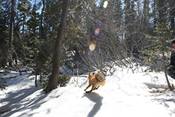 Small red fox running away toward dense tree area. The ground is covered in snow.
