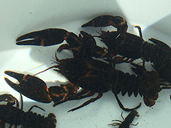 Closeup of white bucket with several crayfish.