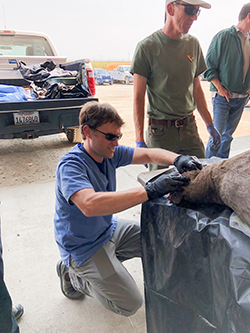 Man in sunglasses, gray pants and blue scrub shirt squatting next to black tarp covered table with black gloved hands on deceased deer resting on table. Two men stand nearby and pickup truck in background.