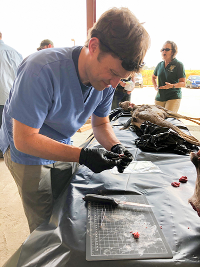 Man wearing beige pants, blue scrub shirt, and black gloves hunched over black tarp covered table holding flesh over a black cutting mat, knife and forceps. Deceased deer laying on opposite end of table.