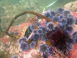Several urchins clustered together covering large rock underwater with kelp stalk